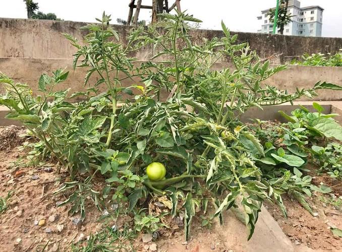 Khoet lo be tong trong rau: Ha thanh sanh cung Ha Giang-Hinh-7