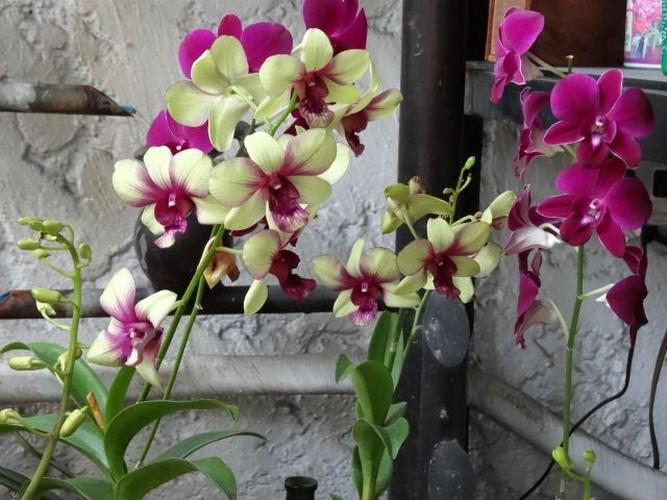 Ngam nhung ban cong day hoa phong lan cuc dep-Hinh-10