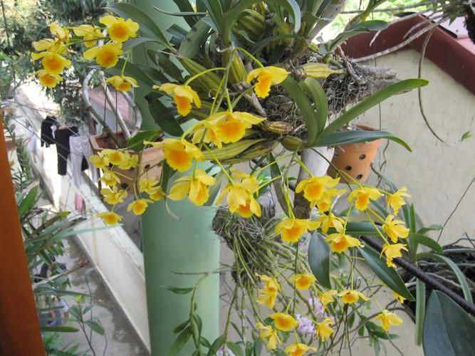Ngam nhung ban cong day hoa phong lan cuc dep-Hinh-2