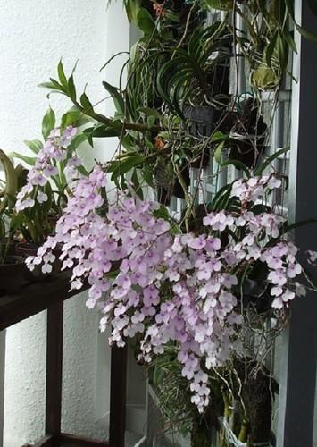 Ngam nhung ban cong day hoa phong lan cuc dep