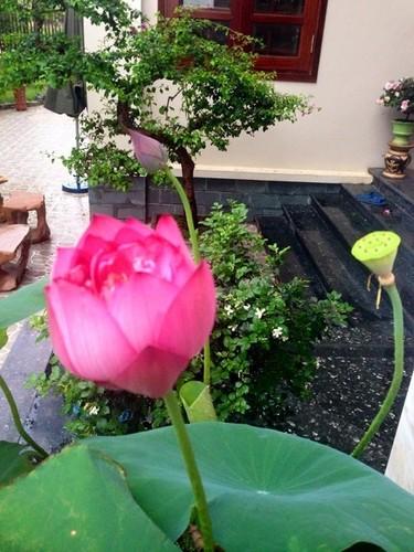 Hoc cach giup nha tro nen bung sang trong mua hoa sen-Hinh-11