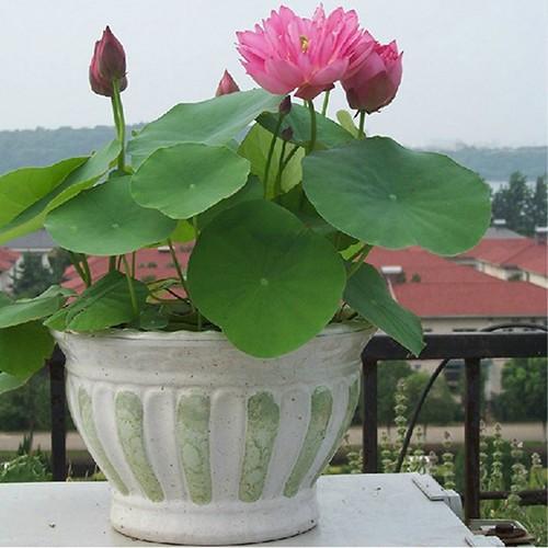 Hoc cach giup nha tro nen bung sang trong mua hoa sen-Hinh-7