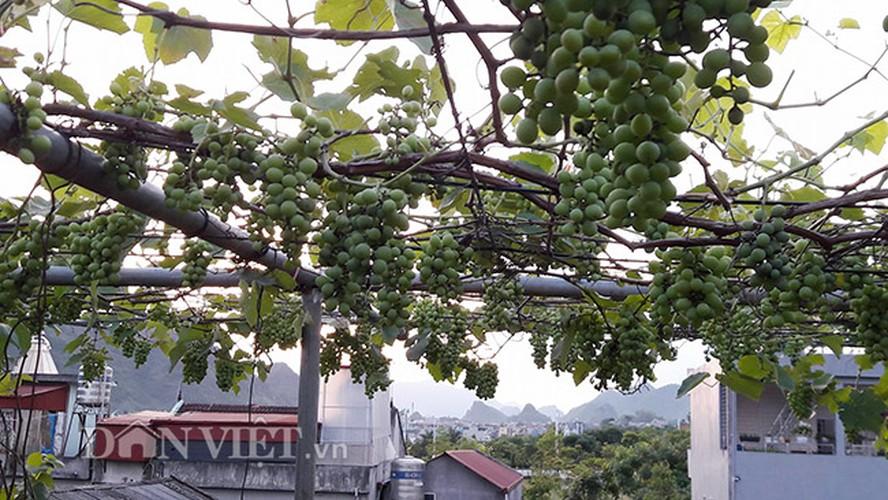 Hoa mat gian nho Phap chi chit qua tren san thuong tang 3-Hinh-17