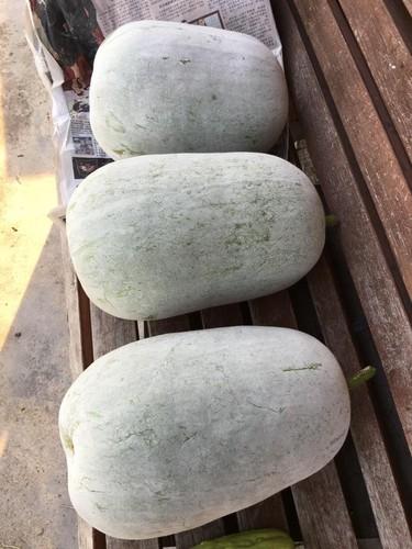 Da mat vuon rau qua boi thu, moi vu hon 300 kg-Hinh-17