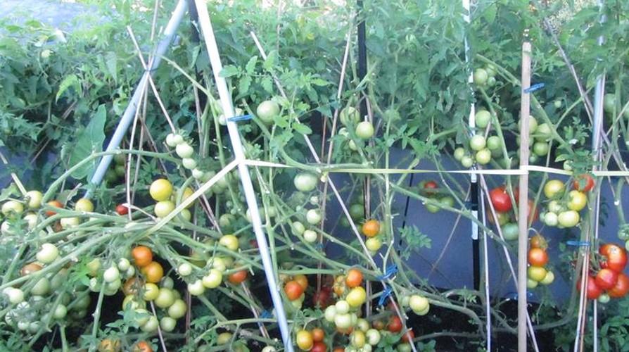 Muot mat ngam nhung vuon rau Viet o Duc-Hinh-4