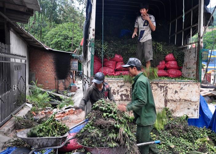 Nhung lan Trung Quoc thu mua trai cay non la lung o  Viet Nam-Hinh-2