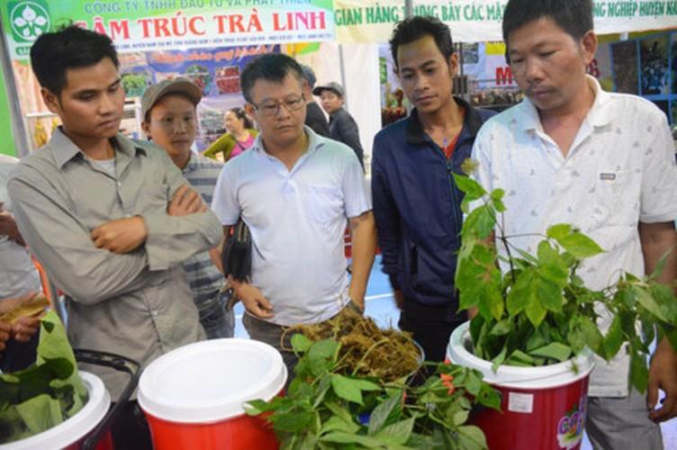 Hinh anh cho sam Ngoc Linh doc nhat o Quang Nam-Hinh-2