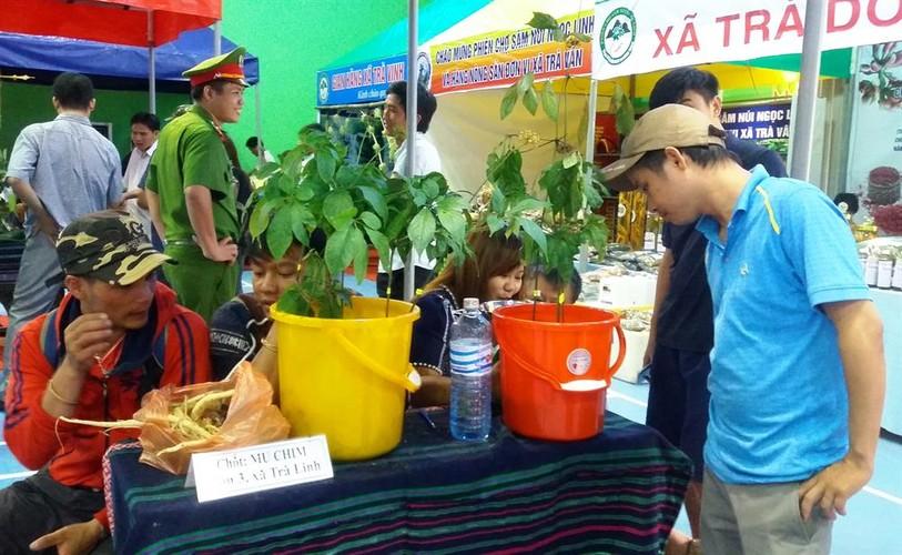 Hinh anh cho sam Ngoc Linh doc nhat o Quang Nam