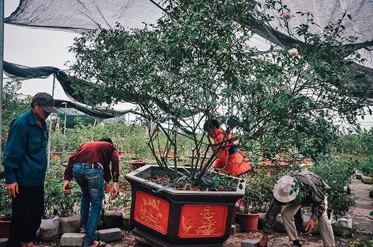 """""""Lac troi"""" giua nhung vuon hong co bac ty o Ha Noi-Hinh-4"""