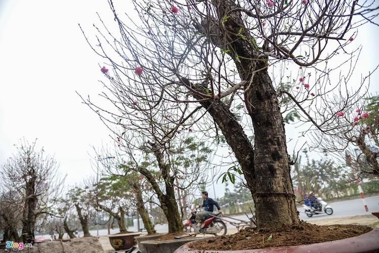 Cay dao gia thue 40 trieu dong xuong pho-Hinh-9