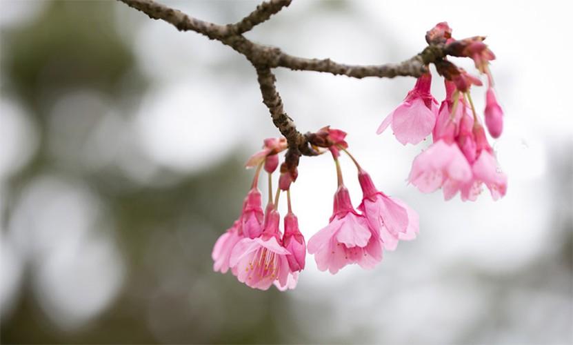 Hoa anh dào nỏ rọ ỏ Sa Pa làm ngản ngo du khách-Hinh-14