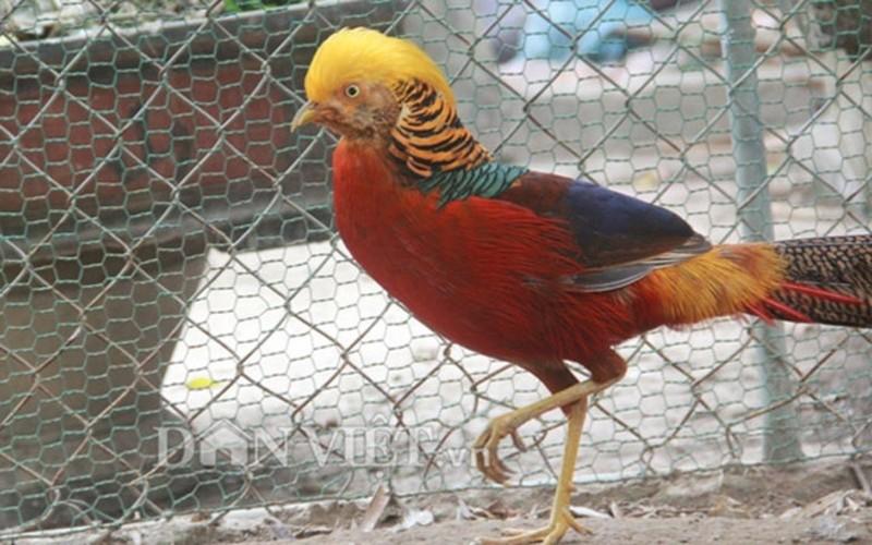 Nhung giong chim khien dai gia Viet khong ngai chi tien-Hinh-2