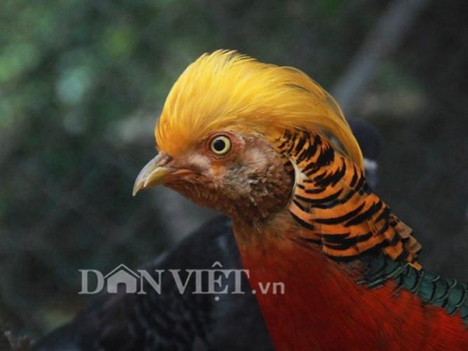 Nhung giong chim khien dai gia Viet khong ngai chi tien-Hinh-3