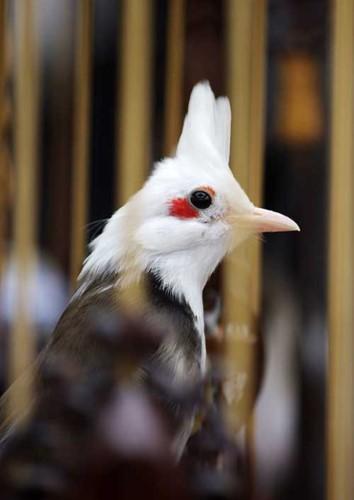 Nhung giong chim khien dai gia Viet khong ngai chi tien-Hinh-8