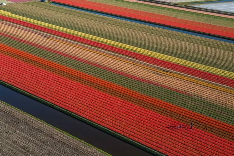Dep vo cung nhung canh dong hoa tulip nhin tu tren cao-Hinh-2