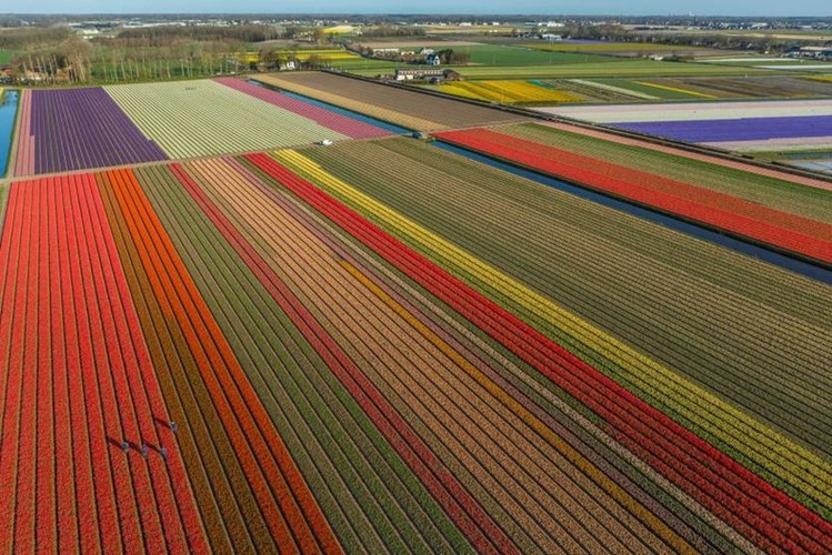 Dep vo cung nhung canh dong hoa tulip nhin tu tren cao-Hinh-6