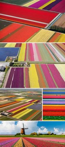 Dep vo cung nhung canh dong hoa tulip nhin tu tren cao-Hinh-7