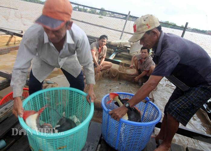 "Bi an khu vuc nuoi ""thuy quai"" rau dai vung Amazon tren song Hau-Hinh-4"