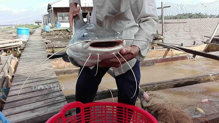 """Bi an khu vuc nuoi """"thuy quai"""" rau dai vung Amazon tren song Hau"""