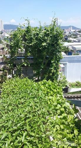 San thuong 8m2 phu xanh du loai rau cua me 9X tai Vung Tau-Hinh-3