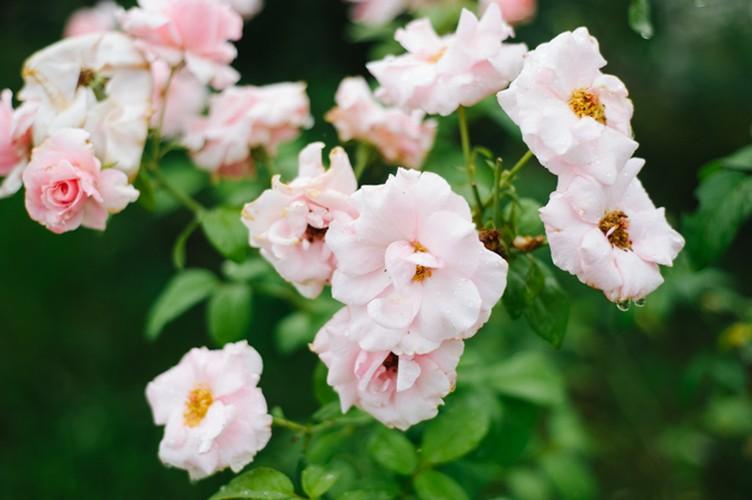 Man nhan nhung khu vuon hoa hong cua dai gia Viet-Hinh-10