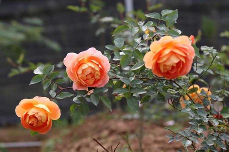 Man nhan nhung khu vuon hoa hong cua dai gia Viet-Hinh-12