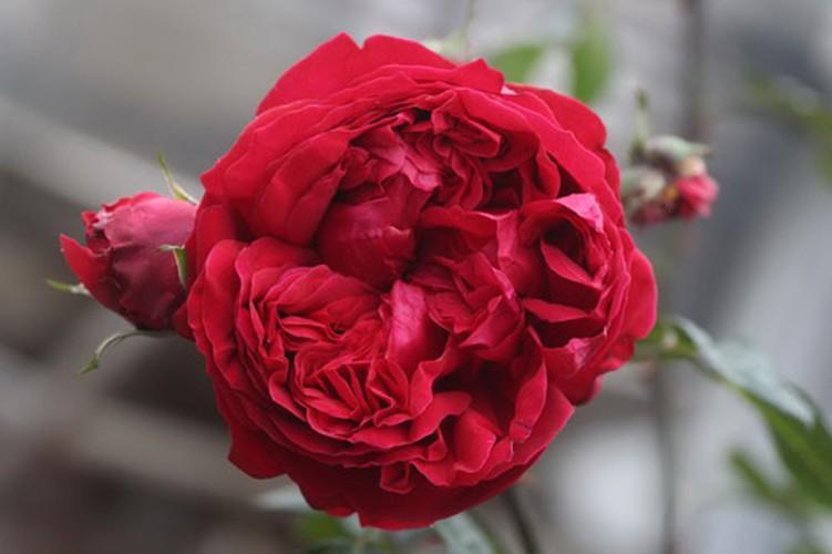 Man nhan nhung khu vuon hoa hong cua dai gia Viet-Hinh-13