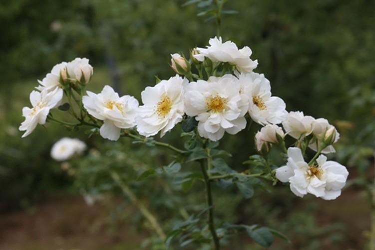 Man nhan nhung khu vuon hoa hong cua dai gia Viet-Hinh-15