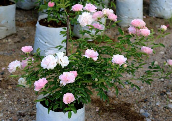 Man nhan nhung khu vuon hoa hong cua dai gia Viet-Hinh-2
