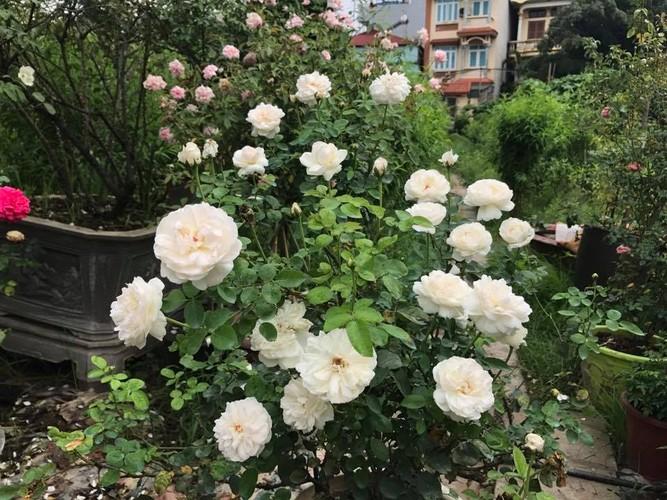 Man nhan nhung khu vuon hoa hong cua dai gia Viet-Hinh-3