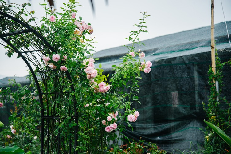 Man nhan nhung khu vuon hoa hong cua dai gia Viet-Hinh-7