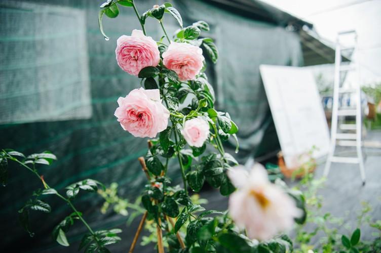 Man nhan nhung khu vuon hoa hong cua dai gia Viet-Hinh-8