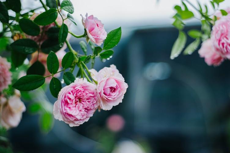 Man nhan nhung khu vuon hoa hong cua dai gia Viet-Hinh-9