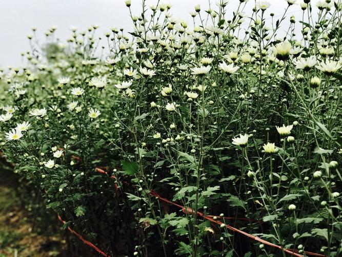 Mua cuc hoa mi: Chi em phat cuong, dan Nhat Tan mung tham-Hinh-6