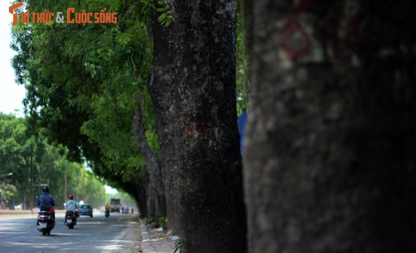 Ngam hang cay xanh muot tren duong Pham Van Dong truoc khi chat ha-Hinh-9
