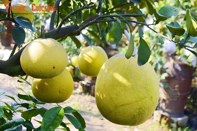 Còn việc chăm sóc cũng đòi hỏi sự kỳ công, bởi khi ghép quả, người trồng cần phải che đậy cẩn thận để quả có màu sắc đẹp.