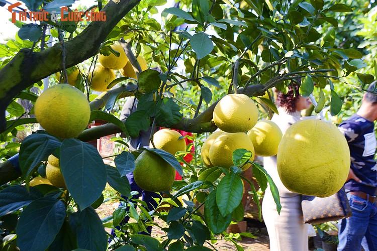 Đây là một là một trong 3 quả bòng được anh sang tận đất Phùng chọn tại các nhà vườn để vườn đem về ghép.