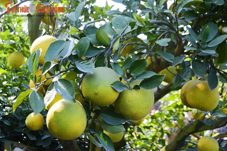 Trên cây có khoảng 200 quả sai lúc lỉu.