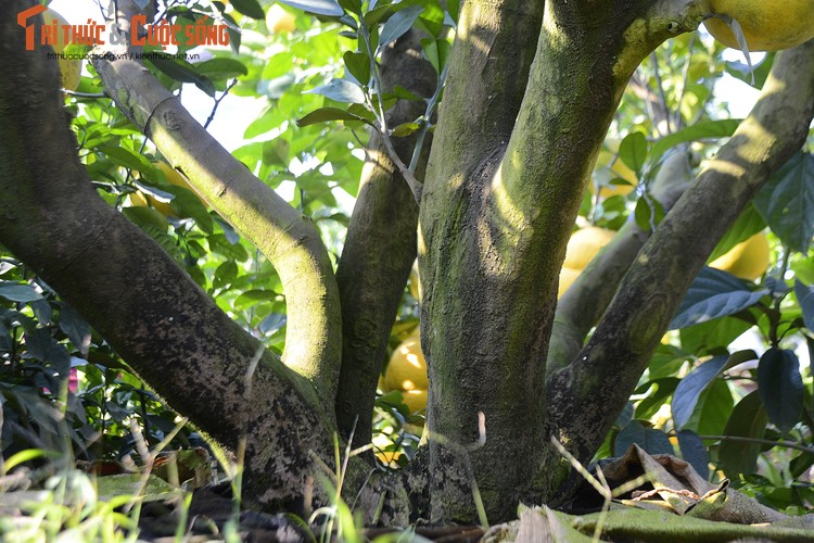 Gốc cây to, được phân ra làm 6 nhánh nhỏ tượng chưng cho anh em trong cùng một gia đình sung túc.
