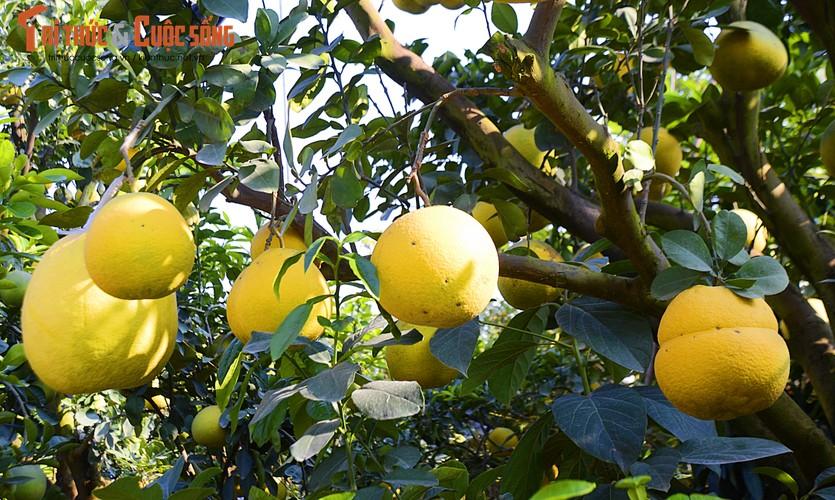 Bên cạnh đó, cây lại ra nhiều chùm quả kép, với dân chơi cây cảnh đây là điều may mắn và hiếm có.